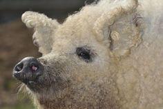 From sheep pigs to zenkeys and ligers: The world's weirdestanimals
