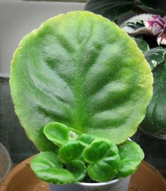 African Violets: How to Achieve Constant Bloom   A Garden for the House