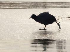 Vroege Vogels: Schaatsende meerkoet :)