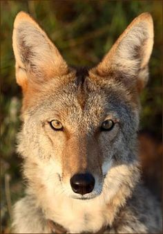 Portrait of a coyote. Beautiful. One of God's creatures.