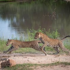 """Amazing Capture from Game Ranger """"Gert Smit"""" at Inyati Game Lodge We'll Show You Africa! Sand Game, Game Lodge, Game Reserve, African Safari, Sands, Luxury Travel, Ranger, Tourism, Wildlife"""