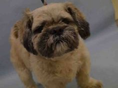 Manhattan Center COBY – A1103670  **DOH HOLD – B**  NEUTERED MALE, TAN, LHASA APSO MIX, 5 yrs OWNER SUR – ONHOLDHERE, HOLD FOR DOH-B Reason BITEPEOPLE Intake condition EXAM REQ Intake Date 02/13/2017, From NY 10029, DueOut Date 02/23/2017