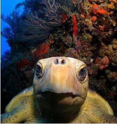 A turtle in Islamorada