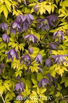 Clematis Stolwijk Gold An Early Blooming That Always Has Color Purpley Blue