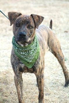 ADOPTED> NAME: Howard  ANIMAL ID: 34025290  BREED: hound/terrier mix  SEX: male  EST. AGE: 2 yr  Est Weight: 57 lbs  Health: Heartworm neg  Temperament: dog friendly, people friendly  ADDITIONAL INFO: RESCUE PULL FEE: $35  Intake date: 11/18  Available: Now
