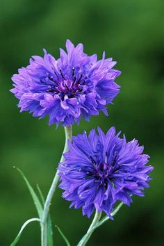 Centaurea cyanus Blue Boy - Cornflower;sow early spring or winter sow;full sun;plant spacing 12in;deadhead;height 36in ...also look for 'black ball' or white variety