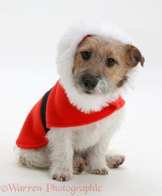 WP13306 Jack Russell Terrier Buttercup with a red Christmas coat on