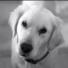 """European Golden Retriever """"our Charlie"""" he is the big 2!"""