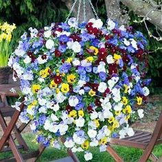Trailing Pansies - Perfect for Hanging Baskets