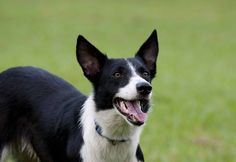 Most up-to-date Snap Shots Border Collies pelo corto Tips This Perimeter Collie hails through the borderlands associated with The uk as well as Scotland (hence the part. Border Collie Breeders, Border Collie Humor, Collie Dog, Border Collie Colors, Border Collie Art, Short Haired Dog Breeds, Short Haired Border Collie, Animals And Pets, Cute Animals