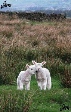 Zwei super Cute  Baby Schafe