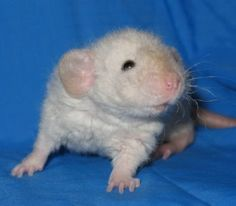 If I ever got a rat this would be it!