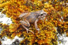 Three tiny species of frogs as small as a grape have been uncovered hopping around the for...