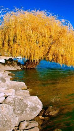 Willow Tree by the River - Autumn
