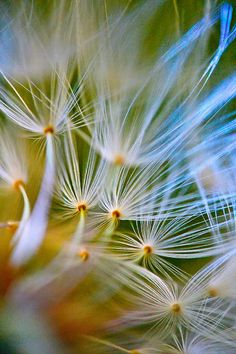 """""""A dandelion, photographed with a macro lens."""" Photo of the Day: August 17, 2012. Taken by Kristhian Castro. See more at smithsonianmag.com"""