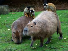 Monkeys playing with capybaras