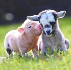 Baby goats and piglets . Tiny Baby Animals, Baby Animals Super Cute, Baby Animals Pictures, Fluffy Animals, Cute Little Animals, Cute Animal Pictures, Cute Funny Animals, Happy Animals, Cute Baby Pigs