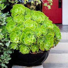 My front yard!!!!! Go for green - Container Designs with Succulent Plants - Sunset