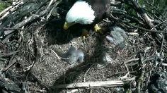Circle of life: 4 more bald eagles found dead in Delaware 2 hatch in nations capital http://ift.tt/1ZlxGWd   Almost a month after 13 birds died in nearby Maryland four dying bald eagles could not be saved in rural Delaware. Authorities are puzzled as to what is killing the birds the national symbol of the US. At the same time two eaglets hatched in DC.Read Full Article at RT.com Source : Circle of life: 4 more bald eagles found dead in Delaware 2 hatch in nations capital  The post Circle of…