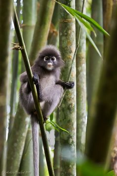 Young Dusky Langur (AKA Dusky Leaf Monkey) by Ashley Vincent Primates, Mammals, Cute Creatures, Beautiful Creatures, Animals Beautiful, Monkey Pictures, Animal Pictures, Borneo, Cute Baby Animals