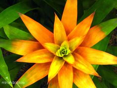 Guzmania Bromeliad | Autumn is a second spring when every leaf is a flower.