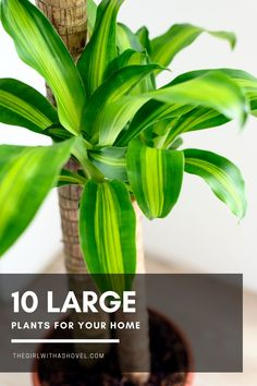 Looking for some large indoor plants to really give your space that extra green? Check out my list of large houseplants to add to your home! Large Houseplants | Large Indoor Plants | Houseplants for Large Spaces | Big Houseplants | Big Indoor Plants | Indoor Plants for Large Spaces | Indoor Tree Plants, Indoor Palm Trees, Indoor Palms, Outdoor Trees, Trees To Plant, Unique Plants, Large Plants, House Plants Decor, Plant Decor