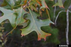 The Turkey Oak - Quercus laevis is most easily identified by the small stature in combination with it's twisted petioles, some leaves tha. Auburn University, Red Oak, Rust Color, Plant Leaves, Turkey, Florida, Meet, Plants, Birds