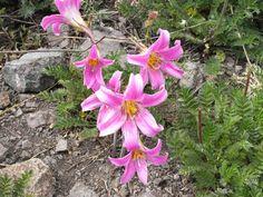 Rhodolphiala rhodolirion (ananuca of the cordillera). Andes 1800-3500m. horseridingchile.com
