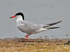 Common Tern [by Donna Lynn]. The Common Tern is a seabird of the tern family Sternidae. This bird has a circumpolar distribution, its four subspecies breeding in temperate and subarctic regions of Europe, Asia and North America.