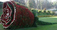 Hedge rose indeed!
