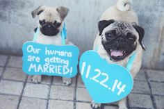 Pug owner engagement photo..... hahah the one on the left doesn't look to sure about this announcement!