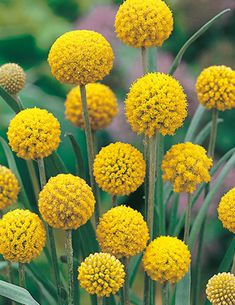 Buy Australian Wildflower seeds online with Mr. Our range includes a variety of Wildflower seeds that will add vibrant colour to your garden all year round. Australian Wildflowers, Australian Native Flowers, Australian Plants, Exotic Flowers, Wild Flowers, Beautiful Flowers, Alpine Flowers, Alpine Plants, Winter Flowers
