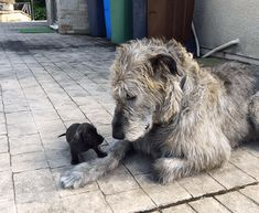 15 Hilarious Irish Wolfhounds Photos That Show How Large And Awesome They Are - I Can Has Cheezburger? Whippet Puppies, Baby Puppies, Whippets, Corgi Puppies, Dachshund, Irish Wolfhound Puppies, Irish Wolfhounds, Big Dogs, Large Dogs