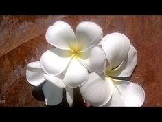 How to make Plumeria/ Frangipani gum paste blossoms - YouTube
