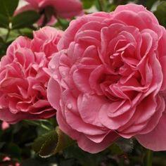 leonardo1 Rose, Flowers, Plants, Pink, Plant, Roses, Royal Icing Flowers, Flower, Florals