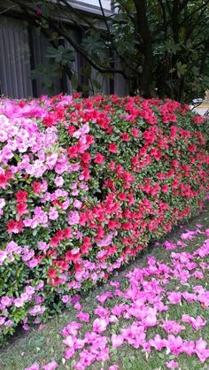 The Azalea Hedge at Home