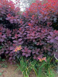 Cotinus sp. at the Garden House, Devon