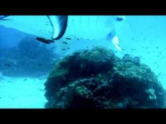 Diving with Manta In Raja Ampat