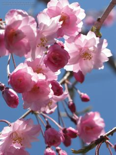 Prunus serrulata 'Kwanzan' - Kwanzan Flowering Cherry, these double flowering pale pink cherries flowers almost glow in the the April Sunlight.  USDA Hardiness Zones 4-8
