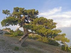 """Growing Juniper Trees: How To Plant Juniper Trees - Plants in the Juniperus genus are termed """"juniper"""" and come in various forms. Because of this, junipers can play different roles in the backyard. Is juniper a tree or bush? It is both. Click here to learn about juniper tree varieties and care."""