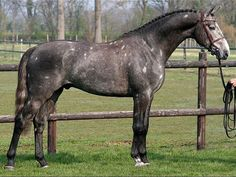 show horses types | Holsteiner horse breed information
