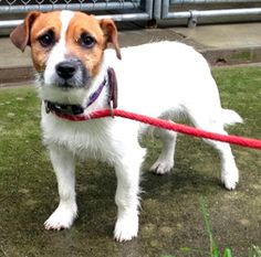 Adopted! Max is an adoptable Jack Russell Terrier Dog in Spring Lake, NJ. Please check back to see if we have any more info on our new Jack Russell....