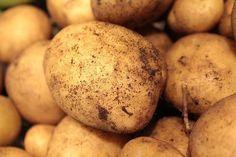 Cycle de reproduction de la pomme de terre