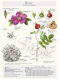 Beautiful rose poster by Botanical Arts Press