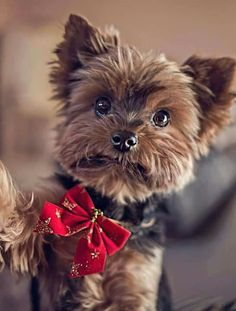 Do you like Yorkie Puppies? If you are, then you're probably planning on getting your own cute and adorable bundle of joy. If you are getting a Yorkie puppy, Yorkies, I Love Dogs, Puppy Love, Chien Yorkshire Terrier, Cute Puppies, Dogs And Puppies, Pet Dogs, Dog Cat, Baby Animals