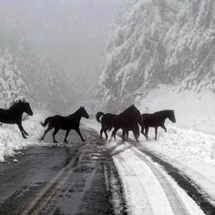 Horses crossing the snow covered road in Grevena, Greece All The Pretty Horses, Beautiful Horses, Animals Beautiful, Cute Animals, Animals In Snow, Clydesdale, Majestic Horse, Wild Mustangs, Tier Fotos