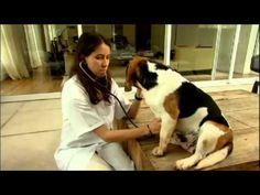 A atração desta edição do programa Este bicho é o bicho série Cães é o Beagle. Confira! Assista a série completa e outros vídeos em www.lucianakatahira.wordp...