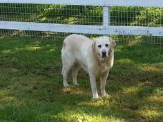 This is Angel a 9 year old Golden/Pyrenees mix. She has lived her life outside in a pen. She is shy & new things can intimidate her. She is spayed, current on vaccinations, potty & crate trained & walks well on leash. She is leery with men. She loves being petted & being close to her foster family. Angel is looking for a forever home & is at Golden Retriever Rescue of Southern Maryland.