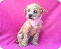 Burbank, CA - Shih Tzu/Cairn Terrier Mix. Meet Kylie, a puppy for adoption.…