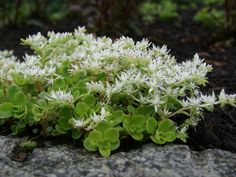 Sedum ternatum (Woodland Stonecrop) is a small, spreading succulent plant. Grows up to 6 inches (15 cm) high and spreads by creeping stems...